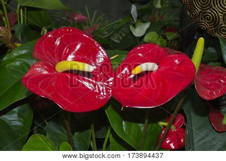 Flowers calla red . Symbolic form in nature.