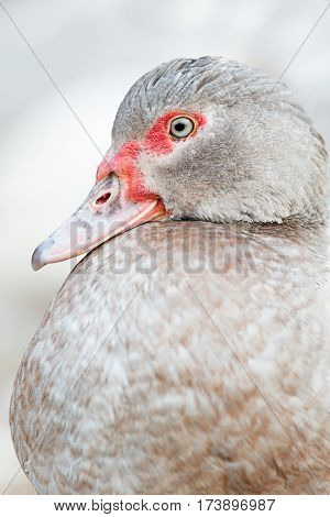 Duck with red beak on a farm