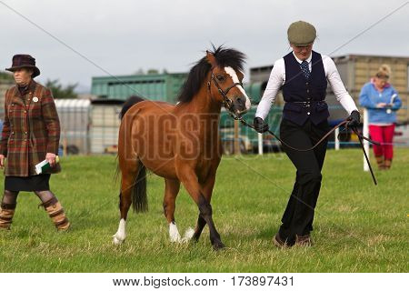 WEEDON, UK - AUGUST 27: A female handler runs with a foal for the judges to see in one of the horse competitions held at the Bucks County show on August 27, 2015 in Weedon