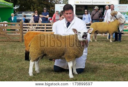WEEDON, UK - SEPTEMBER 1: A handler holds the class Champion sheep steady for the public to view during one of the many sheep competitions at the Bucks County Show on September 1, 2016 in Weedon