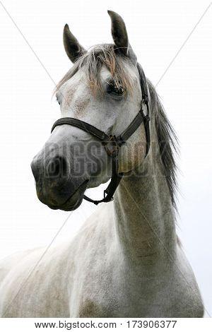 Beautiful closeup portrait of a young purebred horse