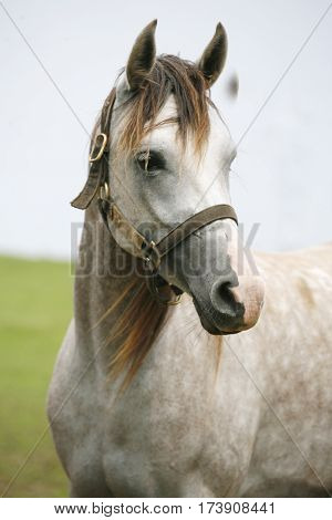 Head shot of a young shagya arabian stallion against green natural background