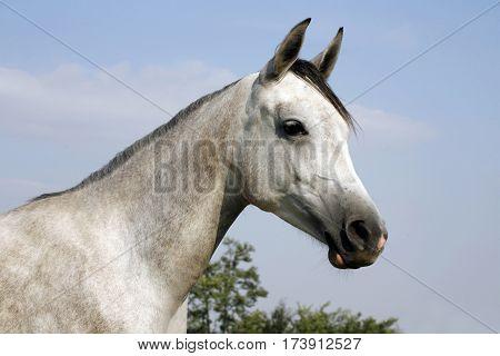 Portrait of a thoroughbred gray arabian foal