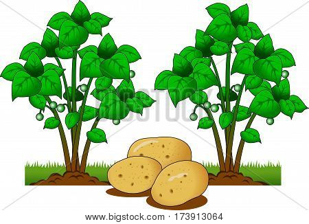 Vector illustration of Potato plant with roots underground illustration