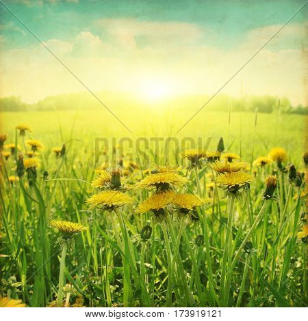Dandelion field at sunset in grunge and retro style.