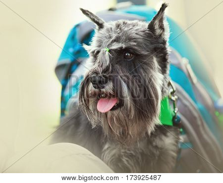 The miniature schnauzer casual portrait outdoor closeup