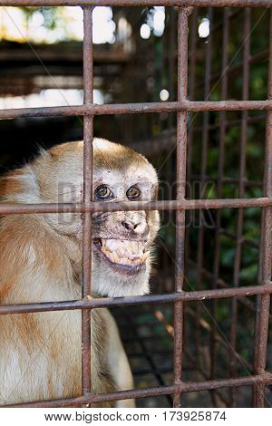 rhesus macaque stare smiling monkey  teeth nature