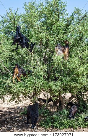 Moroccan goats climbed up on the tree eating argan tree nuts in Morocco