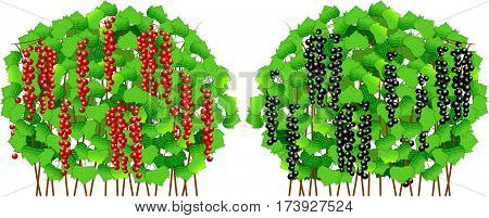 Background. A black and red currant on a branch with leaves