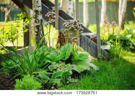 mixed perennial border with hostas day lily heucheras and Bergenia crassifolia in spring garden