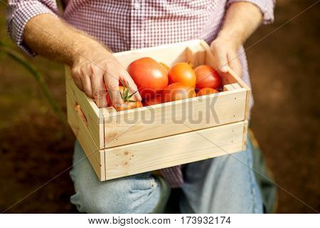 farming, gardening, agriculture and people concept - senior man or farmer with box of red ripe tomatoes at farm