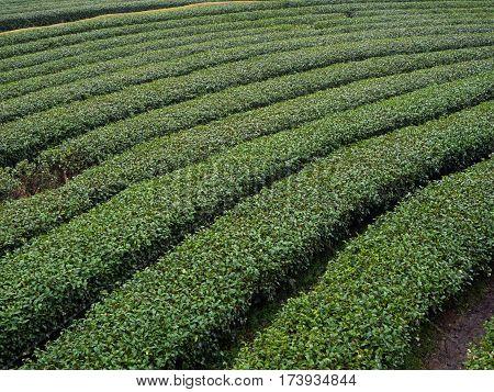 tea plantation in northen thailand tea farm