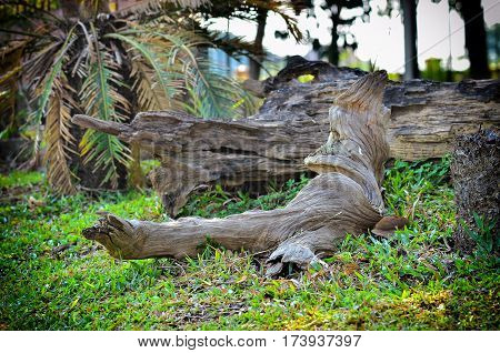 Big old and knotty timber in garden