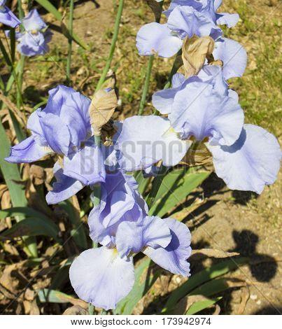 Few blue irises on flowerbed in garden vertical