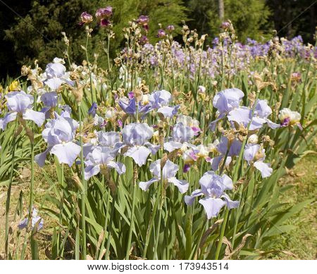 Flowerbed with blue irises in garden horizontal
