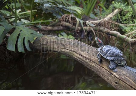 Red-eared slider. The most popular pet turtle in the USA.