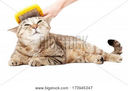 Combing the cat Scottish Straight, lying isolated on white background