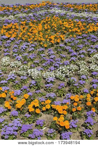Flowerbed with orange marigolds and blue ageratum.