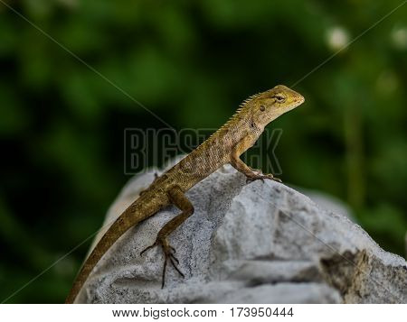 lizard sitting on rock in the natural