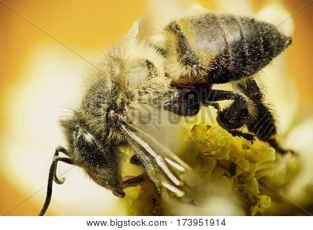 Worker bee sip nectar on flower with warm background