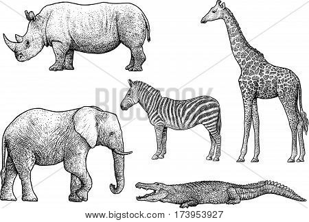 African animals illustration, drawing, engraving, ink, line art