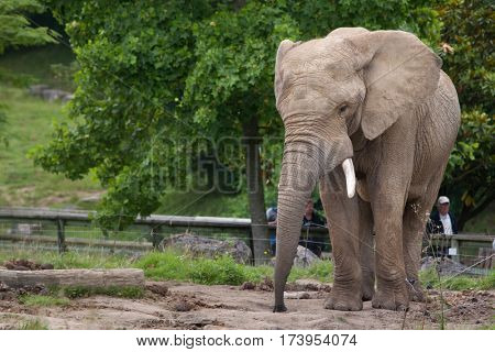 SAINT-AIGNAN, FRANCE - JUNE 30, 2016: Visitors look at the African bush elephant (Loxodonta africana) at Beauval Zoo in Saint-Aignan sur Cher, France.