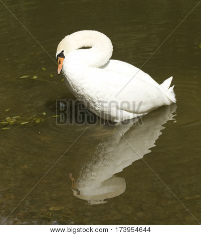 One white swan on water with reflection