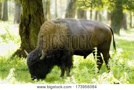 Bison latin name bonasus standing in forest.