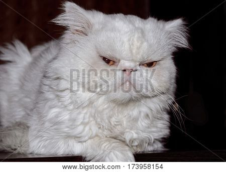 Muzzle of a white cat of the Persian breed against a dark background. Indoors. The pet lies. Horizontal format. Color. Stock photo.