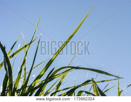 Close-up sunlit and covered with morning dew drops green grass blades against the blue sky in summer.