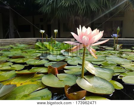 Pale pink Lotus flowers on the surface of the pond,Green Lotus leaves on the water,Landscaping