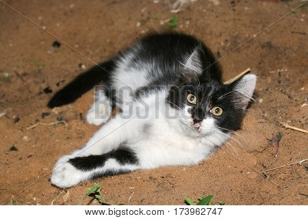 Little fluffy black and white kitten with wounded muzzle is lying on the sand.