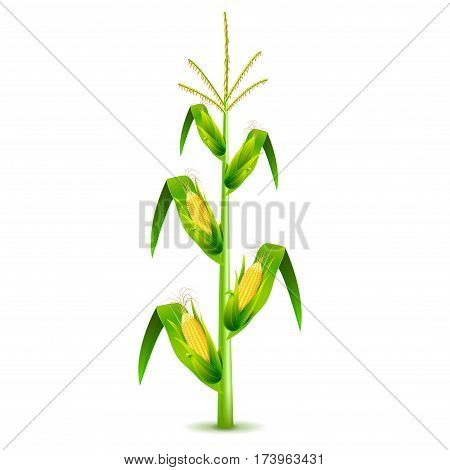 Growing corn plant isolated photo-realistic vector illustration