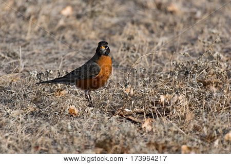 An American Robin foraging for Food during Spring