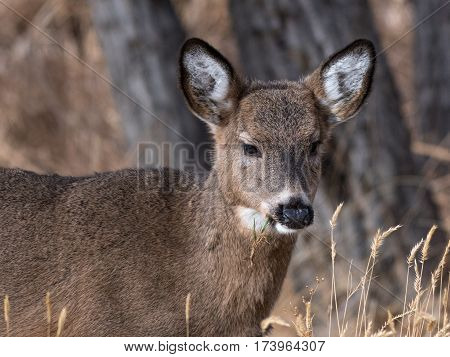 A White-tailed Deer Fawn Focused on Eating
