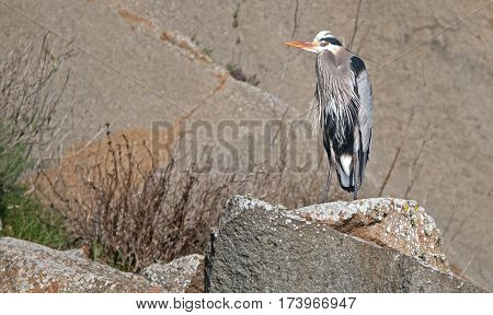 Great Blue Heron at Morro Bay on the Central California coastline US