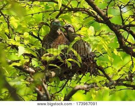 Two Birds, Baby Bird Kiss Mother With Love In Bird's Nest On Trees