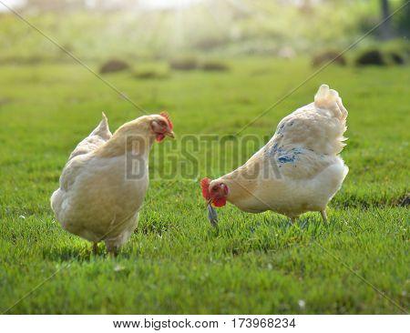 Free Range Organic Hens