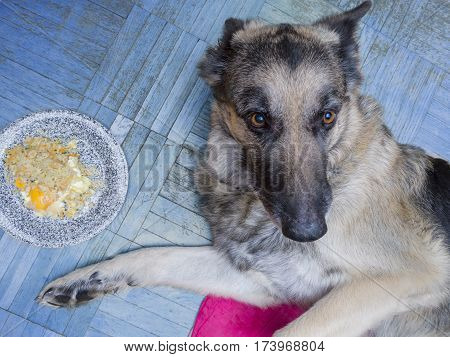 A cropped shot of a shepherd dog looks not hungry laid next to a plate full of food