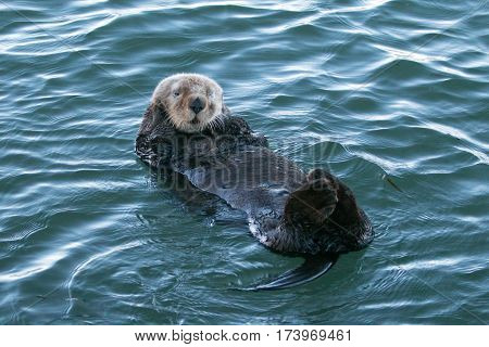 California Sea Otter on the Central California Coast USA