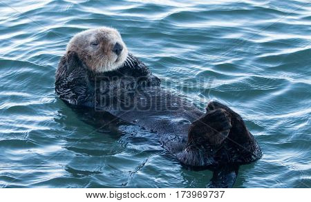 California Sea Otter in Morro Bay on the Central California Coast - USA