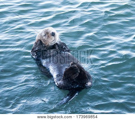 California Sea Otter in Morro Bay - Central California Coast USA