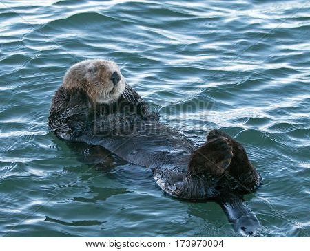 California Sea Otter floating on his back in Morro Bay on the Central California Coast USA