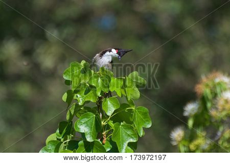 Red-whiskered bulbul sitting on top of the trees