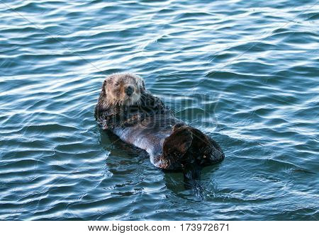 California Sea Otter floating peacefully in Morro Bay on the Central California Coast USA