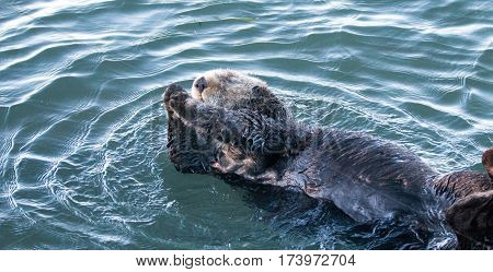 California Sea Otter rolling in the water in Morro Bay on the Central California Coast - USA