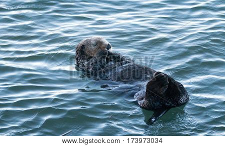 California Sea Otter In Morro Bay On The Central California Coast Usa