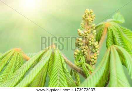 young leaves and flowers buds of a chestnut are born from a bud on branchesin tree in the spring