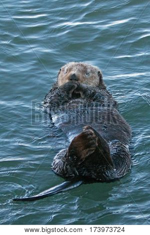 California Sea Otter cleaning his fur in Morro Bay on the Central California Coast USA