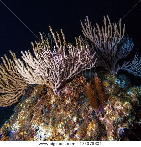 Underwater Night Scene With Multicolor Hard Corals
